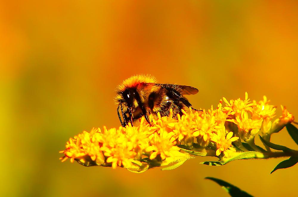 Biene_Frühling